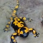 Salamandra pezzata nel Rio Golotta
