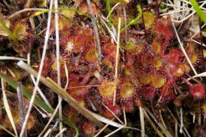 Pianta carnivora Drosera rotundifolia